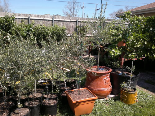 Olive trees for Pruning olive trees in pots